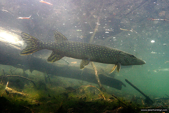 Toronto Island spring pike underwater