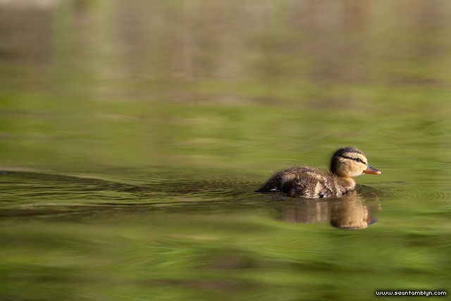 Young mallard duckling, Snug Harbour, Toronto Islands