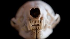 Mink skull macro with teeth, Sans Souci, Georgian Bay