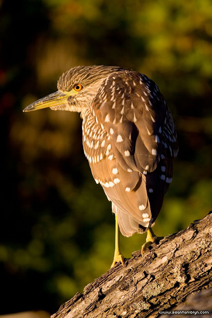 Juvenile black-crowned night heron, Algonquin Island, Toronto Islands