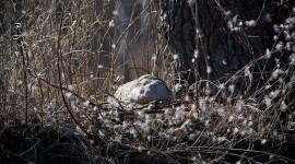Goose on nest surrounded by down, Doughnut Island, Toronto Islands