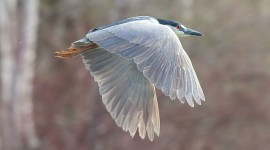 Black-crowned night heron in flight, Snug Harbour, Toronto Islands
