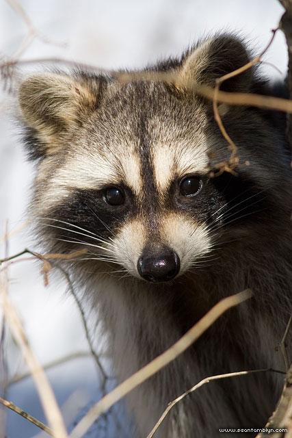 Raccoon portrait, Centre Island, Toronto Islands