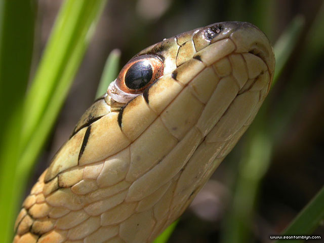 Garter snake portrait from below, Ward's Island, Toronto Islands