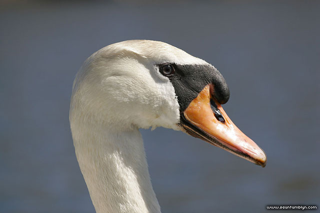 Must swan portrait, Doughnut Island, Toronto Islands