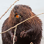 Beaver with mouth open, Ward's Island, Toronto Islands