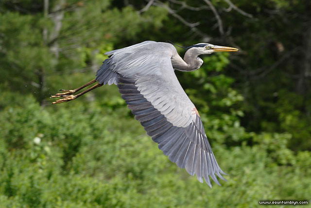 Great blue heron in flight, Wreck Island, Georgian Bay