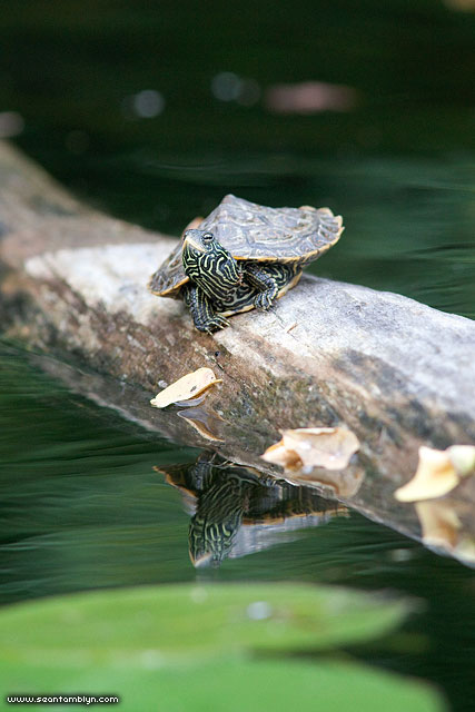 Baby map turtle on log, Snake Island, Toronto Islands
