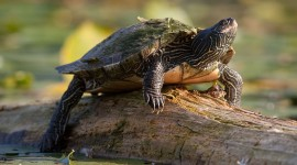 Painted turtle basking on log, Trout Pond, Toronto Islands