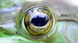 Bullfrog eye closeup, Massassauga Provincial Park, Georgian Bay