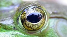 Bullfrog eye closeup, Massassauga Provincial Park, Georgian Bay