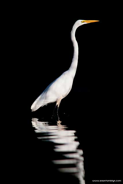 Great egret on pure black, Hanlan's Point, Toronto Islands