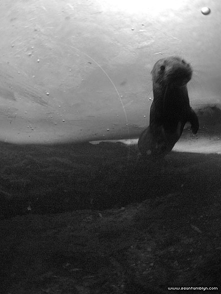 Mink underwater, Snug Harbour, Toronto Islands