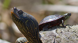Baby turtle riding adult turtle's back, Doughnut Island, Toronto Islands