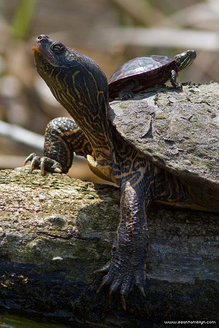 Baby turtle riding adult turtle's back, Doughnut Island, Toronto Islands