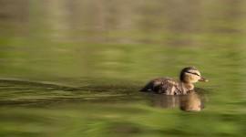 Young mallard duckling, Snug Harbour, Toronto Islands