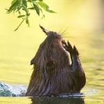 American Beaver, RCYC Island, Toronto Islands