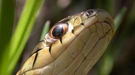 Garter snake portrait from below, Ward's Island, Toronto Islands