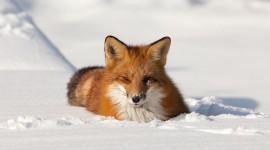 Red fox in snow, Algonquin Island, Toronto Islands