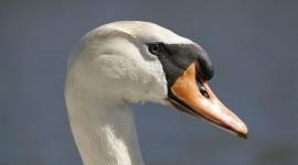 Must swan portrait, Doughnut Island, Toronto Islands