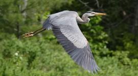 Great blue heron in flight, Wreck Island, Georgian Bay