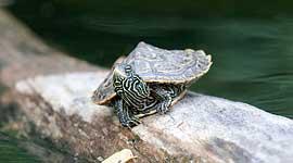Baby map turtle on log, Snake Island, Toronto Islands